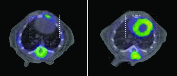 Estudios de PET en animal sano (izquierda) y animal con miocardiopatía dilatada e insuficiencia cardíaca por falta de la proteína YME1 (derecha). El corazón en ambos casos está señalado por el recuadro de línea discontinua blanca. Ver la captación intensa de glucosa en el estudio de la derecha (color amarillo), que está ausente en el animal sano de la izquierda. / Science