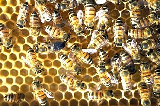 abejas-Cape